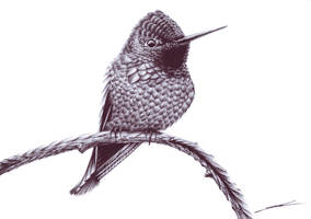 ::: Nur Anna's Hummingbird ::: by NurRayArt