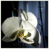 Orchidee by scheinbar