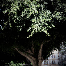 The old oaktree