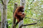 Orangutan in Zoo Berlin