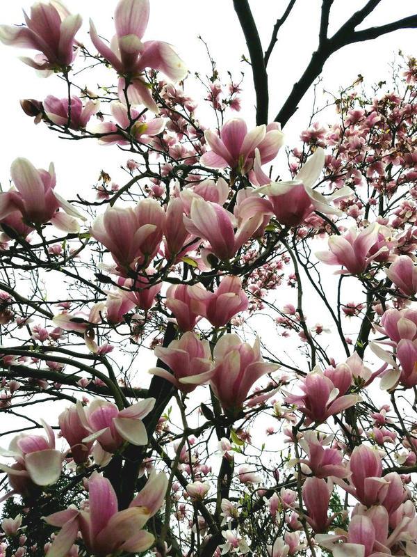 Cherry blossoms  by BenjaminCruz1082