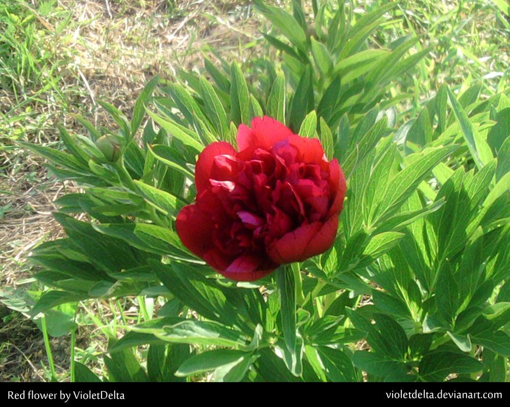 Red flower by VioletDelta