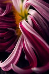 petals by alexciel