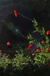 Poppies by alexciel