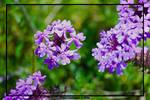 Purple Passion by thayssharumrn