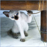 I'm a Domesti_CAT