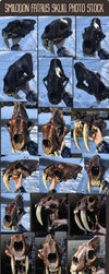 Smilodon Fatalis Skull Photo Stock by Minionwolf711