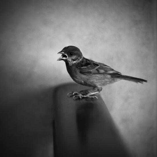 eurasian tree sparrow by Mords