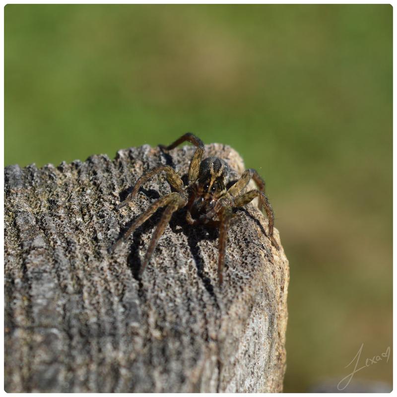 Spider by JustLexa