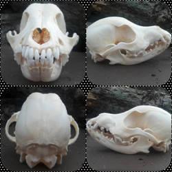 Puppy skull stock by Naturesbounty1012345