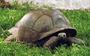 Aldabra Giant Tortoise by AlberichPotter