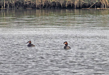 Great Crested Grebes by AlberichPotter