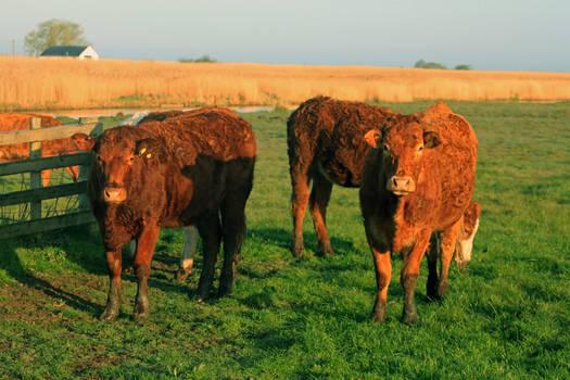 Herringfleet Cattle