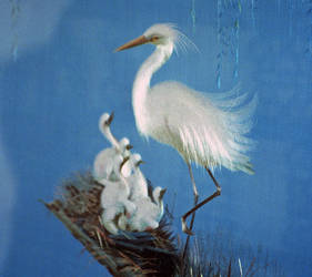 Chinese Egret Family by AlberichPotter