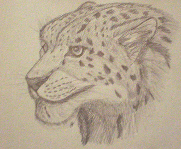 Line Drawing Of A Tiger S Face : Snow leopard face sketch by firekougra on deviantart