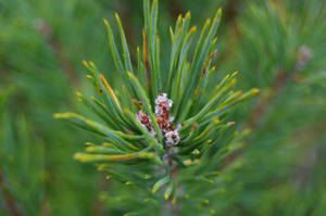Pine needles by AlvaroGJ