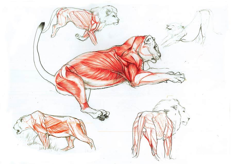 Lion Anatomy By Goldstress972 On Deviantart