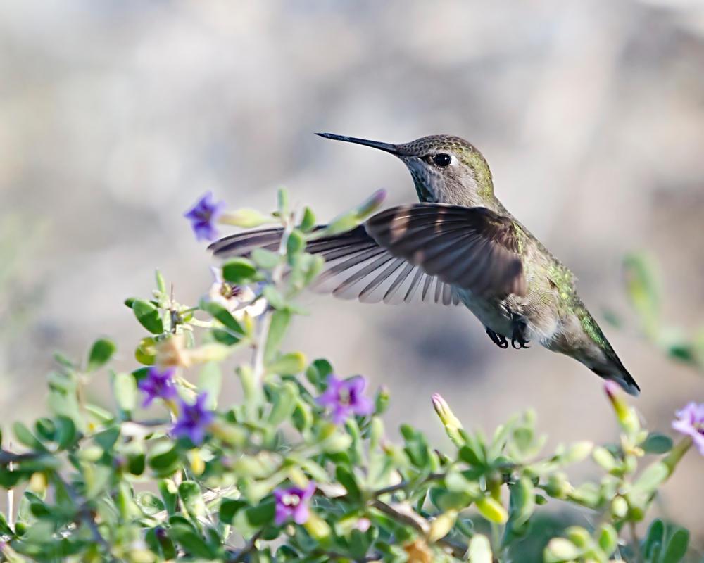 Hummingbird In Flight by fileboy