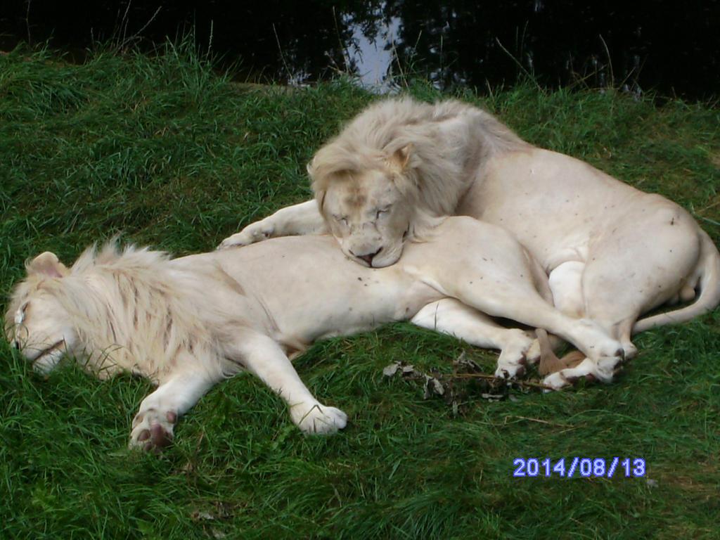 White lions by HybritLemur