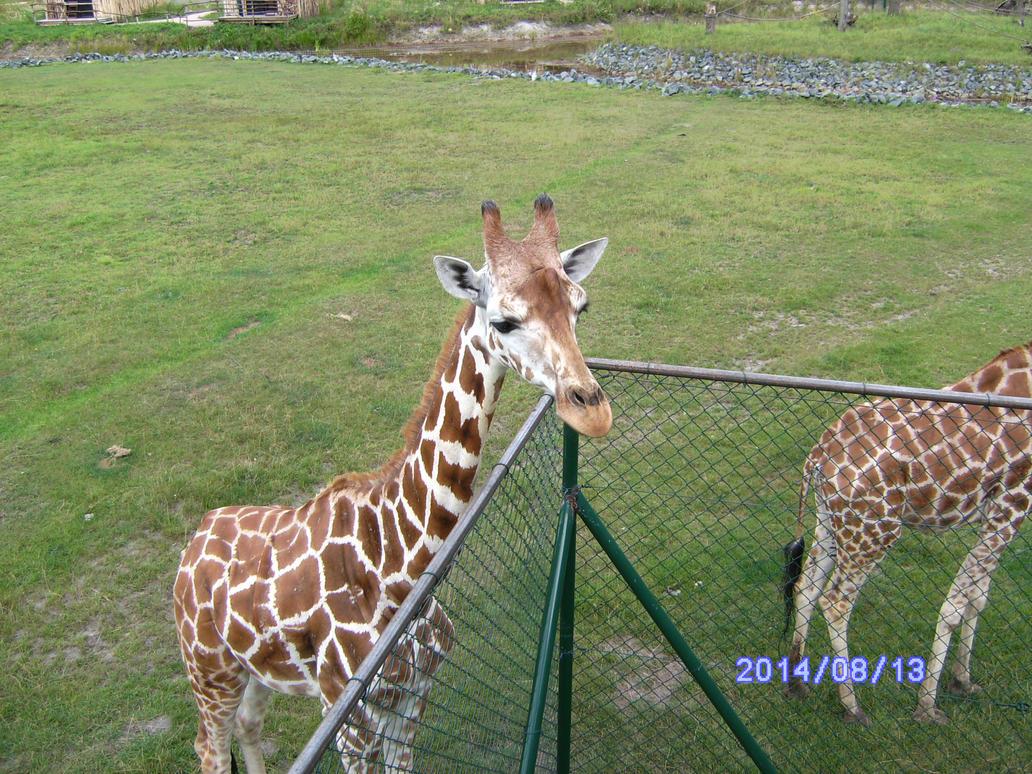 Giraffes1 by HybritLemur