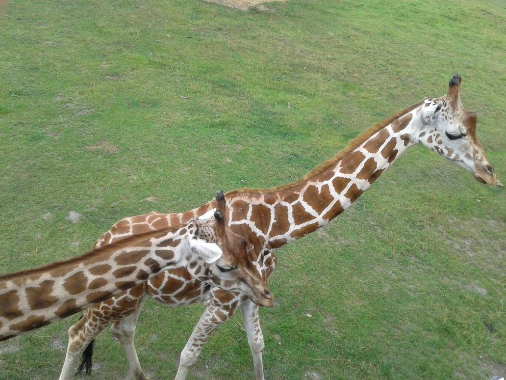 Giraffes2 by HybritLemur