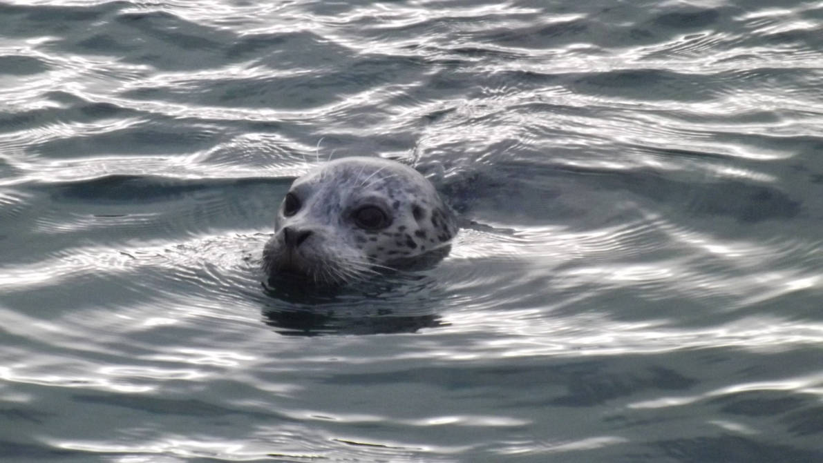 Seal At West Vancouver 4
