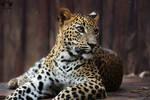 Sri Lankan leopard / Panthera Pardus Kotiya