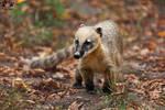 South American coati / ring-tailed coati / Nasua n