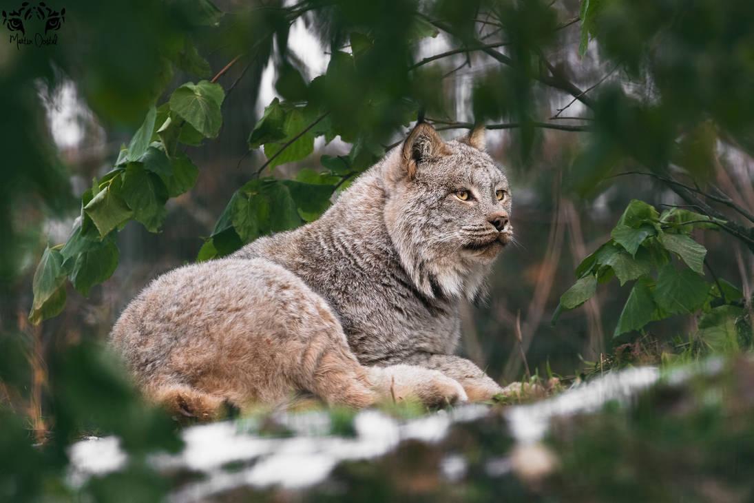 Canada lynx / Lynx canadensis by HunkUmbrella2