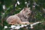 Canada lynx / Lynx canadensis