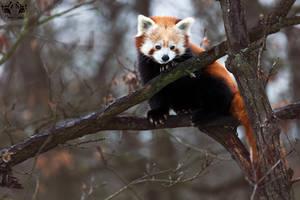Red panda / Ailurus fulgens by HunkUmbrella2