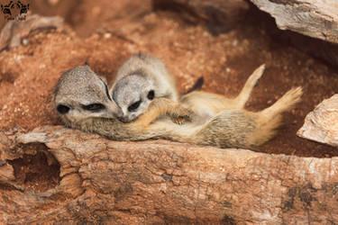 Meerkat / Suricata suricatta by HunkUmbrella2