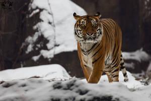 Sumatran tiger / Panthera tigris sumatrae by HunkUmbrella2