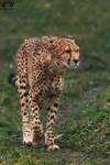 Cheetah / Acinonyx jubatus