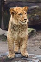 Barbary lion / Panthera leo leo by HunkUmbrella2