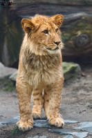 Barbary lion / Panthera leo leo by HunkUmbrella2