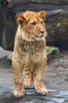 Barbary lion / Panthera leo leo