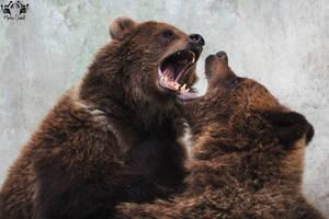 Brown bear / Ursus arctos by HunkUmbrella2