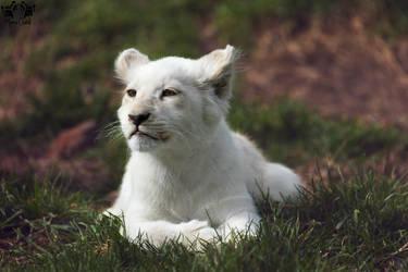 Lion / Panthera leo krugeri by HunkUmbrella2