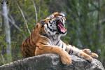 Siberian tiger / Panthera tigris altaica