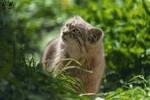 Pallas's cat / Otocolobus manul