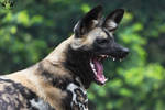African wild dog / Lycaon pictus