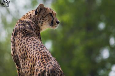 Cheetah / Acinonyx jubatus by HunkUmbrella2