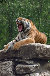 Siberian tiger / Panthera tigris altaica by HunkUmbrella2