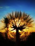 A setting dandelion