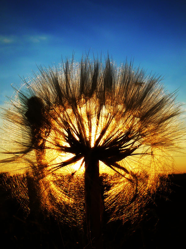 A setting dandelion by DrakeDH