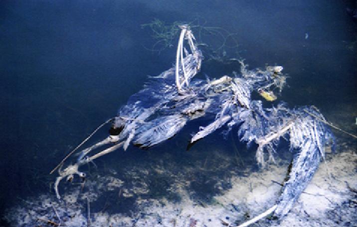 Blue Heron Skeleton by Majiran