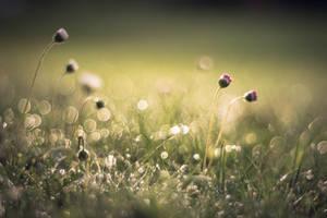 Morning daisies.. by EvKaraskova
