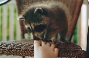 Baby Raccoon by xstcy24
