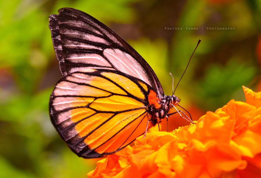 Butterfly2 by prateekverma23